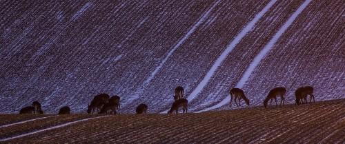 Dovhjortar i kvällningen vid Fyledalen