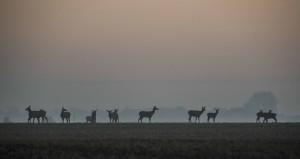 Gryningsljus över skånska kronhjortsmarker