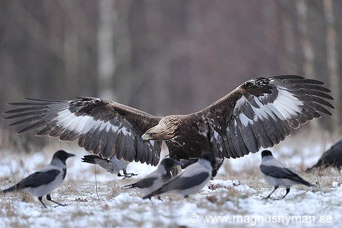 Kungsörn, Golden Eagle, (Aquila chrysaetos)