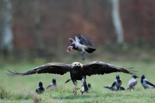 Kungsörn och kråkor © Tomas Hansen