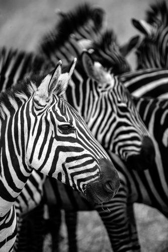 bild-10_gunnar-meller_zebra-04