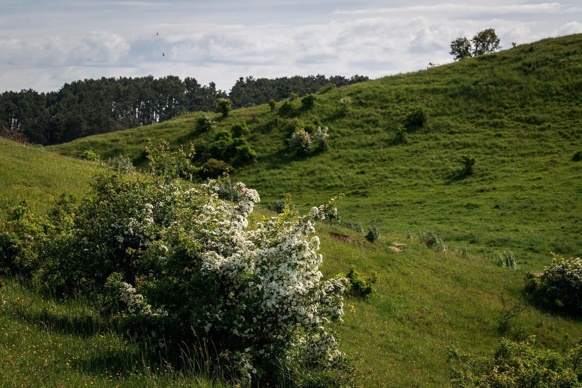 Blommande hagtorn Foto: Curt Leidig