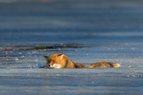 Rödräv faller genom isen